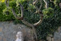 Ulivo ornamentale
